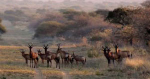 Hartebeest herd at Cruiser Safaris.