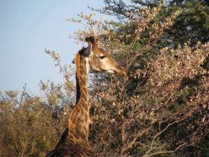 South Africa giraffe.